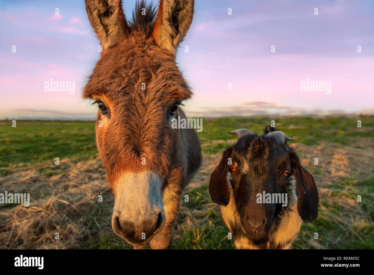 Close-up color image of a donkey and goat with golden sunlight. Stock Photo