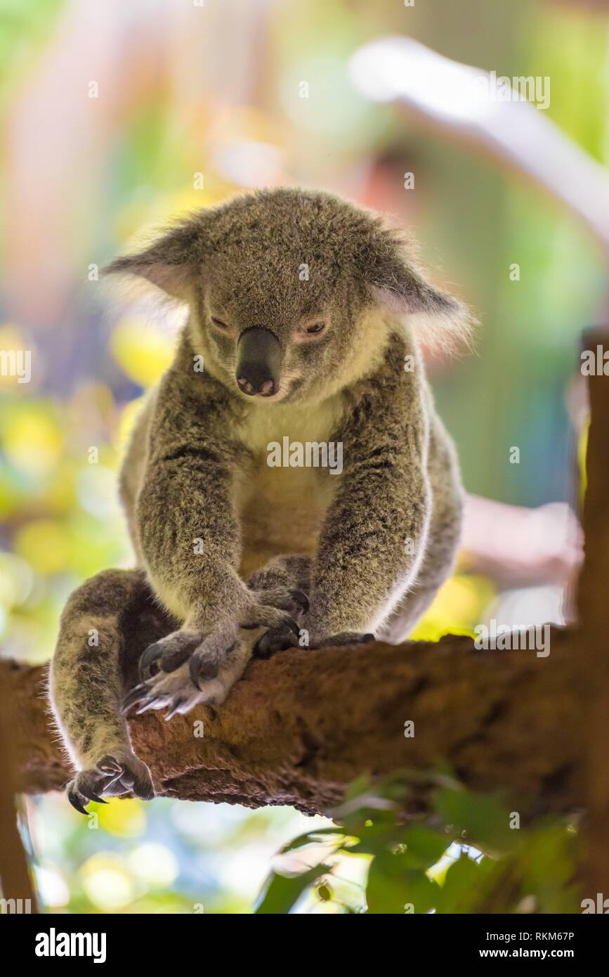 Portrait of koala, an arboreal herbivorous marsupial native to Australia, typically inhabiting open eucalypt woodlands. - Stock Image