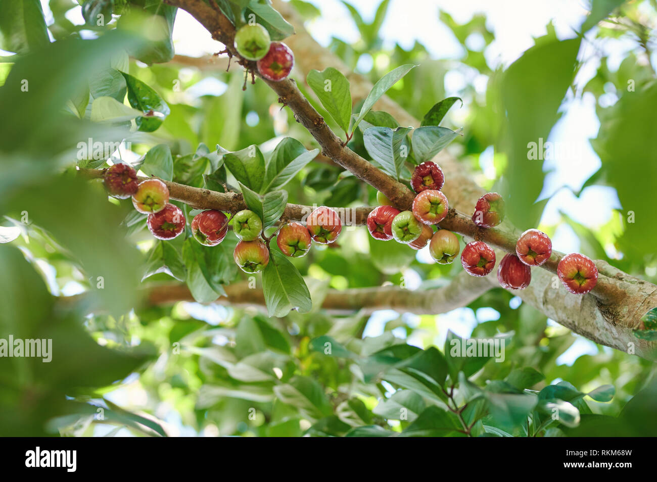Apple tree branch full of wax apple fruits Stock Photo