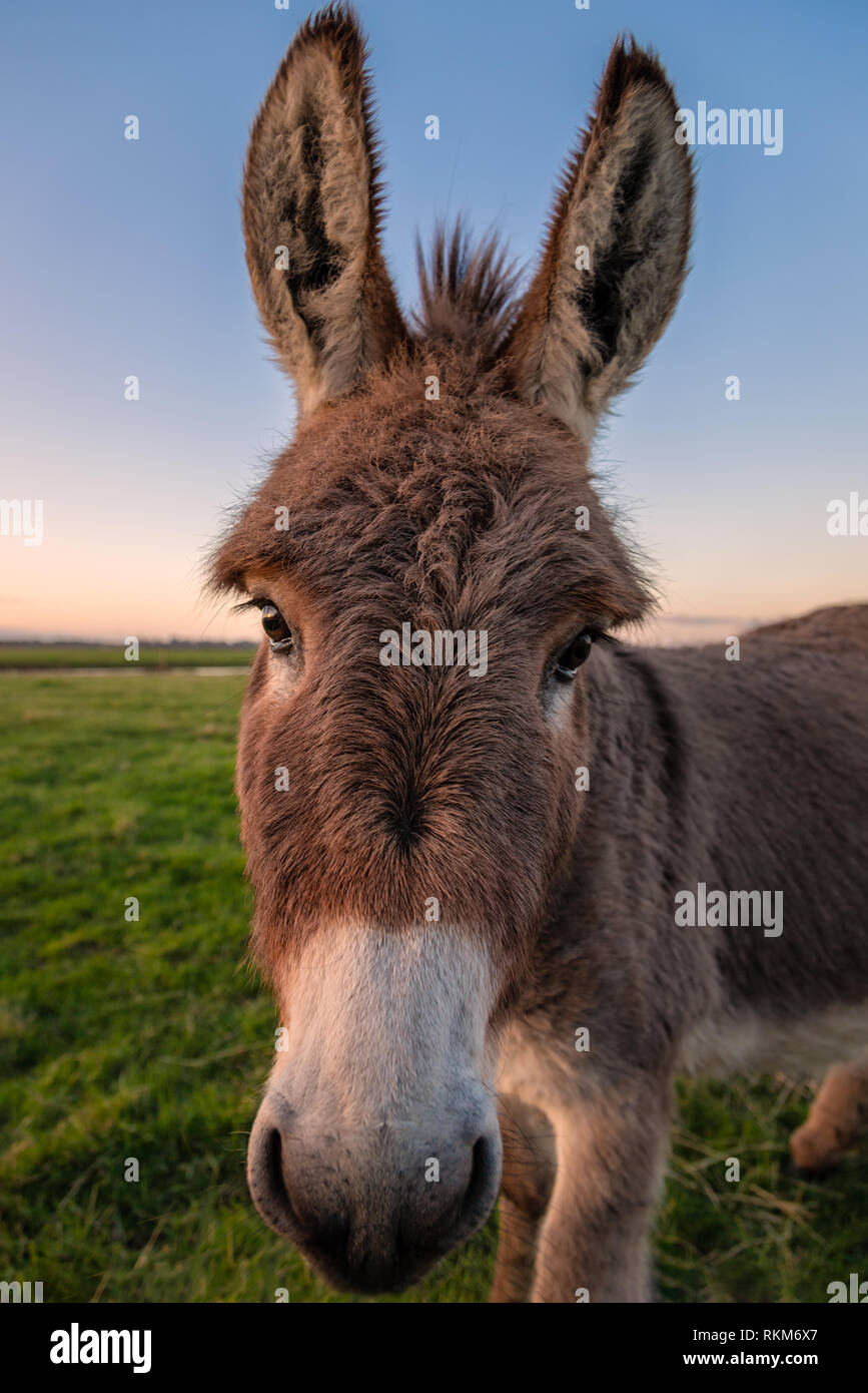 Close-up color image of a donkey with golden sunlight. Stock Photo
