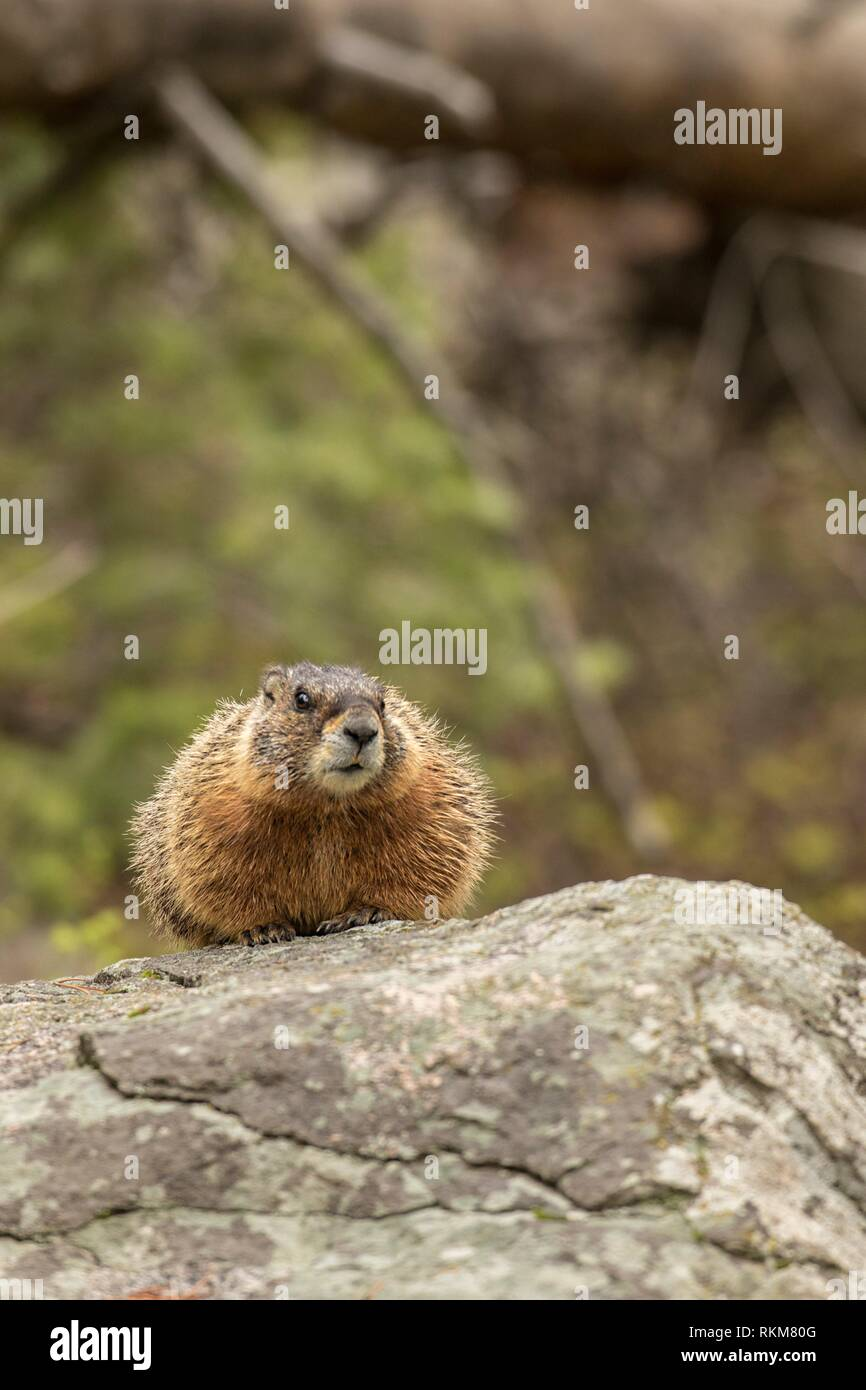 Yellow-Bellied Marmot (Marmota flaviventris). Yellowstone National Park, USA - Stock Image