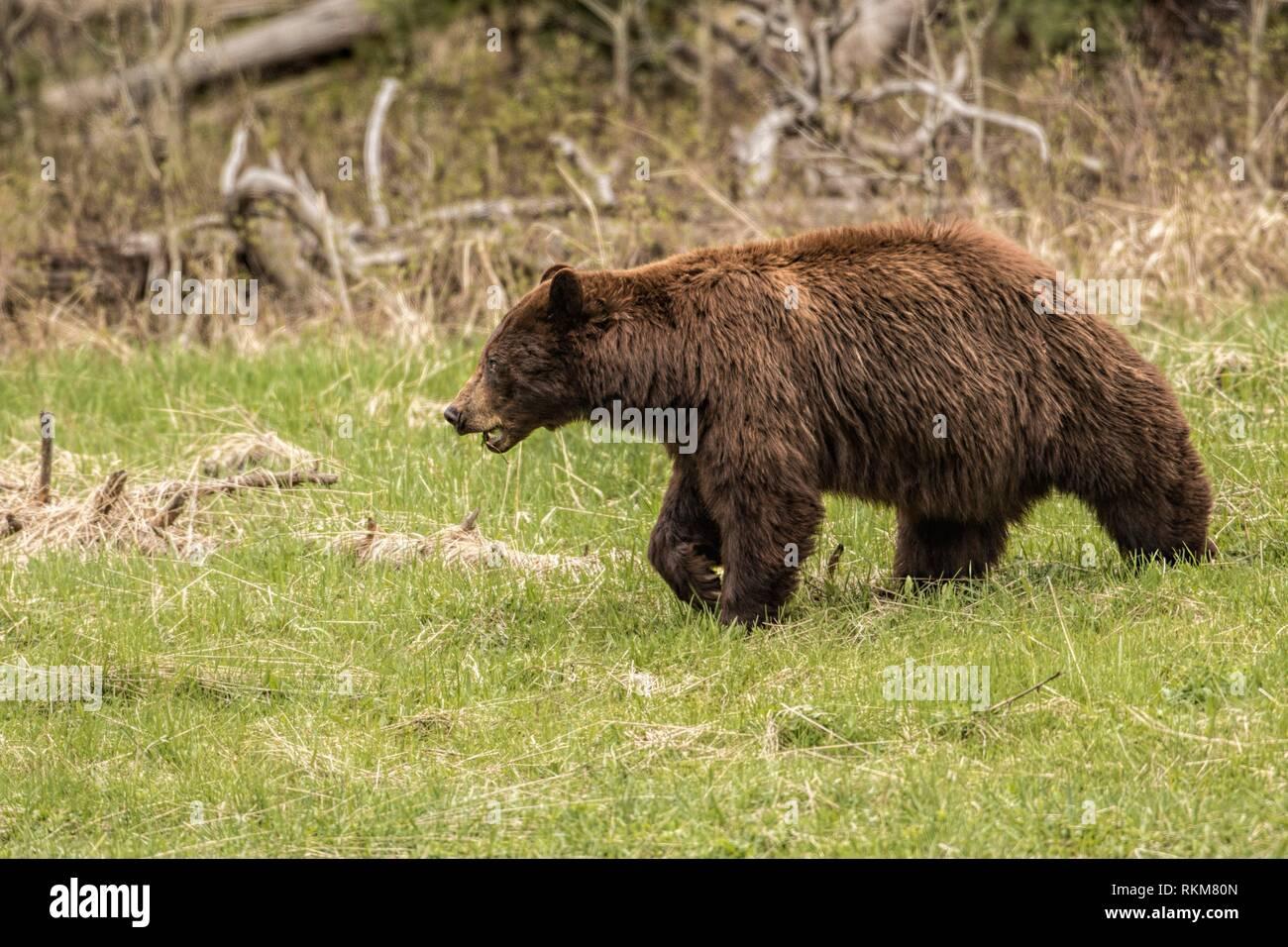Grizzly bear (Ursus arctos horribilis). Yellowstone National Park, USA - Stock Image