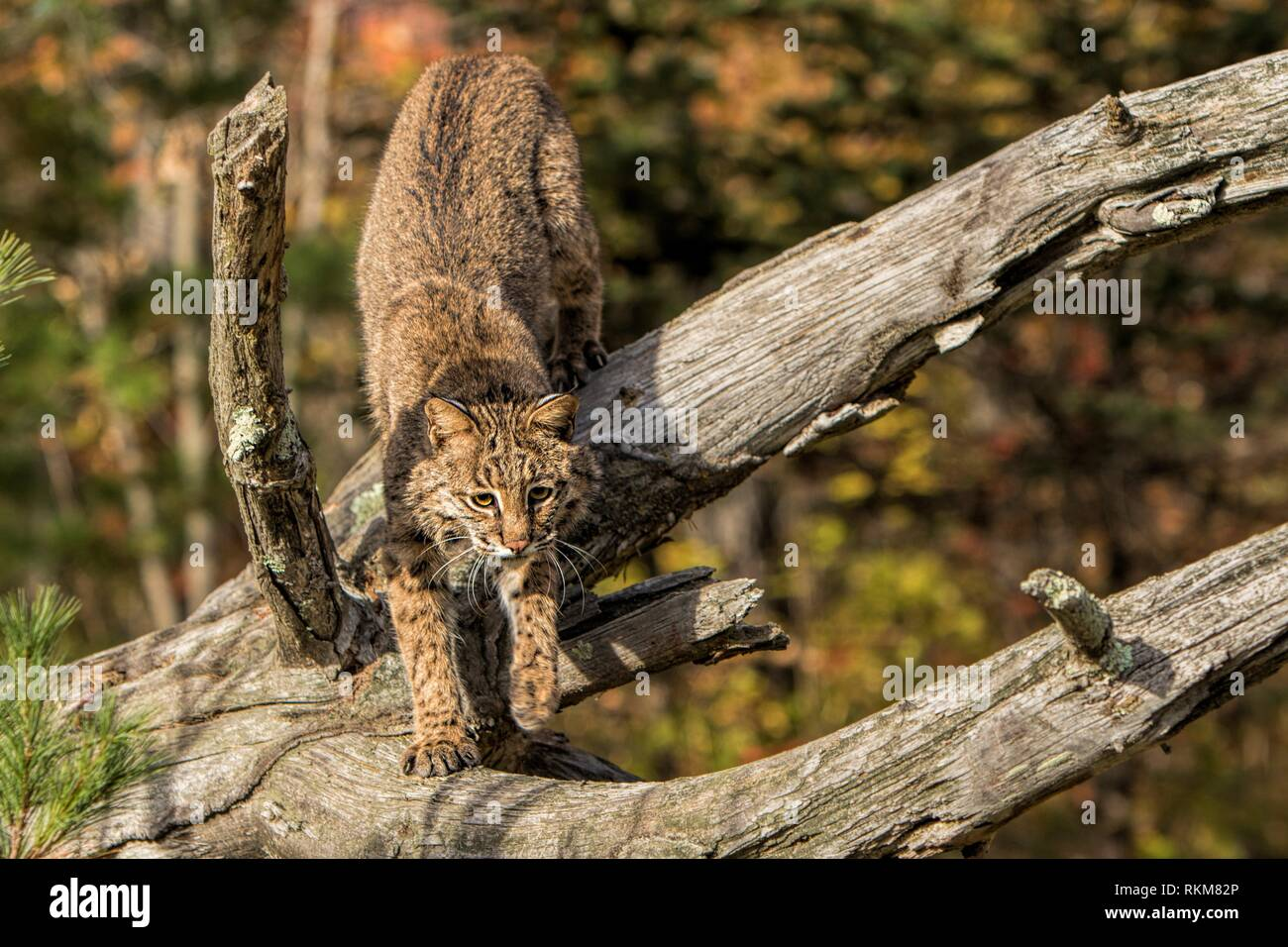 Bobcat (Lynx rufus).Captive. In forest of Sandstone, Minnesota, USA - Stock Image