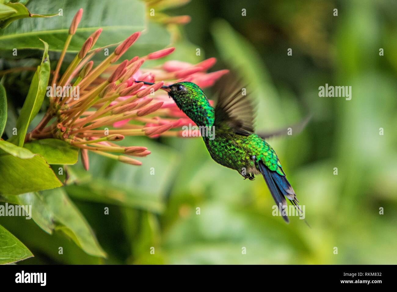 Honduran Emerald (Amazilia luciae). Coxen Hole. Roatan. Honduras. - Stock Image