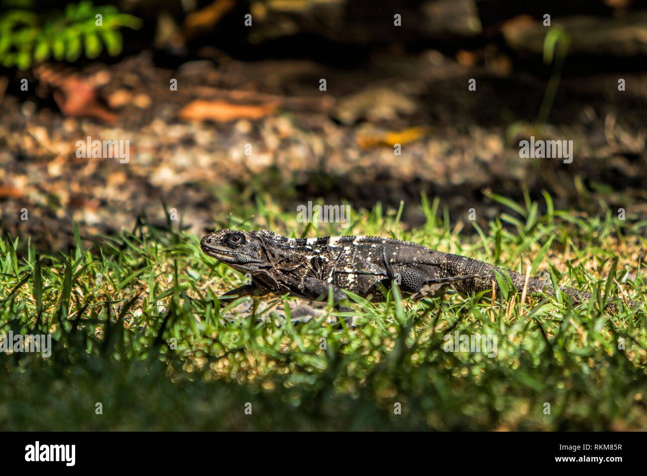 Roat n Spiny-tailed Iguanas (Ctenosaura oedirhina). Gumbalimba Park. Roatan. Honduras. - Stock Image