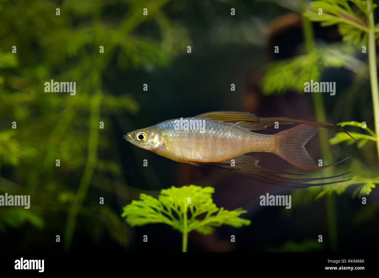 Threadfin Rainbowfish Iriatherina Werneri Stock Photo Alamy