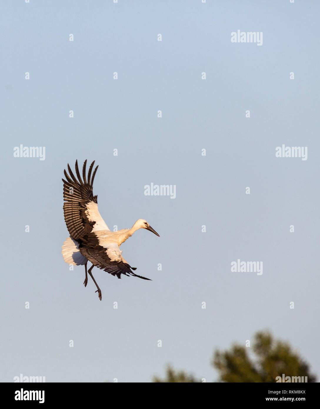 White stork (Ciconia ciconia) flying. Madrid province, Spain. Stock Photo