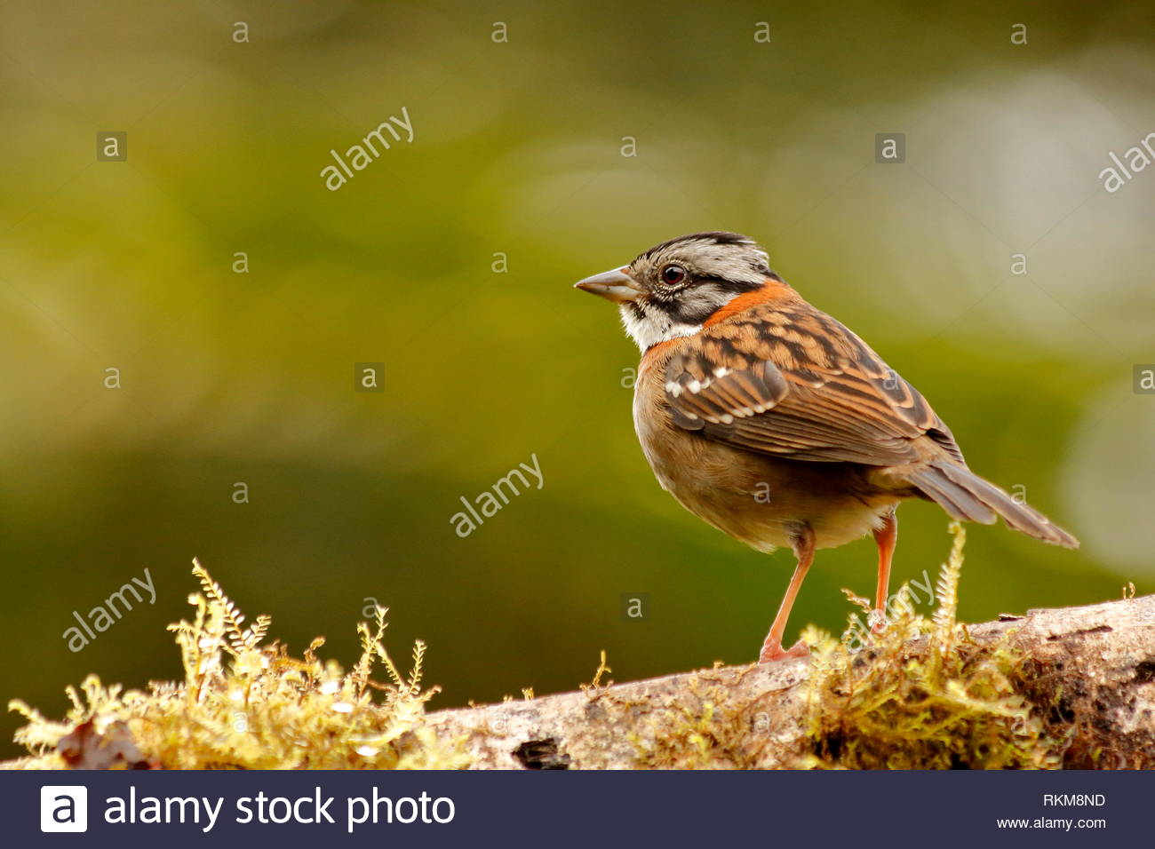 Rufous Collared Sparrow Stock Photo