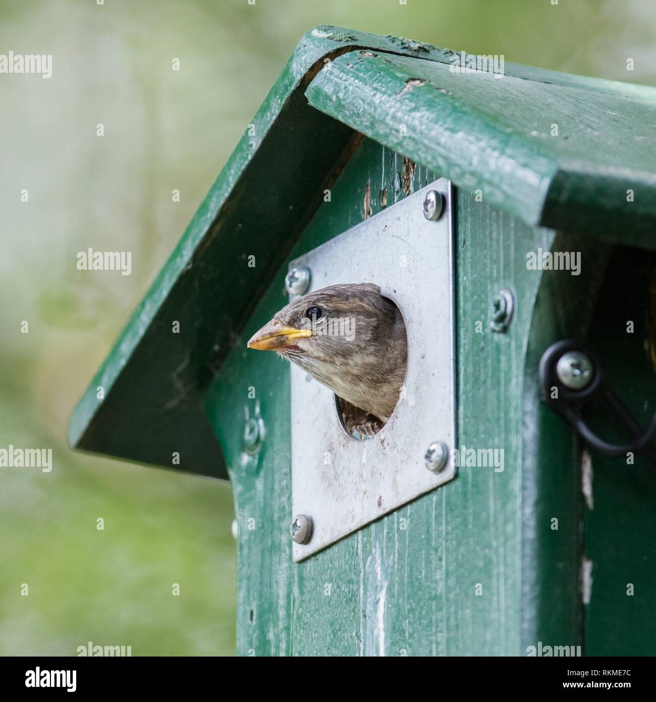 Young sparrow sitting in a green birdhouse. - Stock Image
