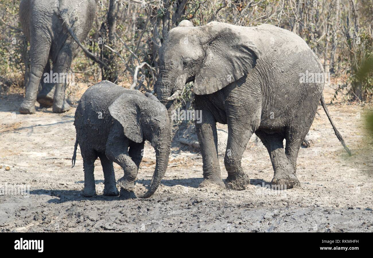 Elephant calf taking a mudbath, Moremi - Botswana. - Stock Image