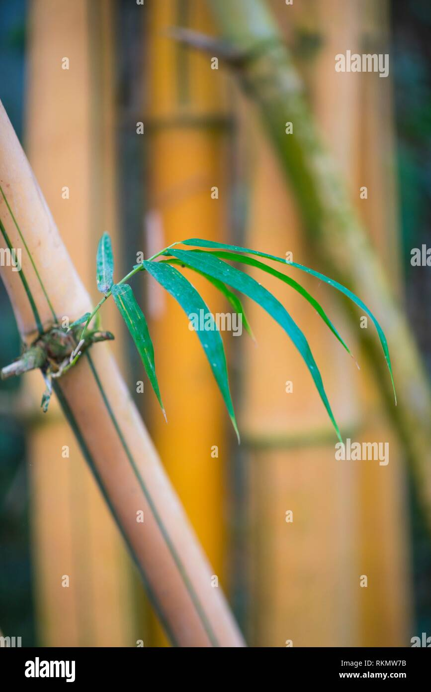 Closeup of bamboo stalk, China. - Stock Image