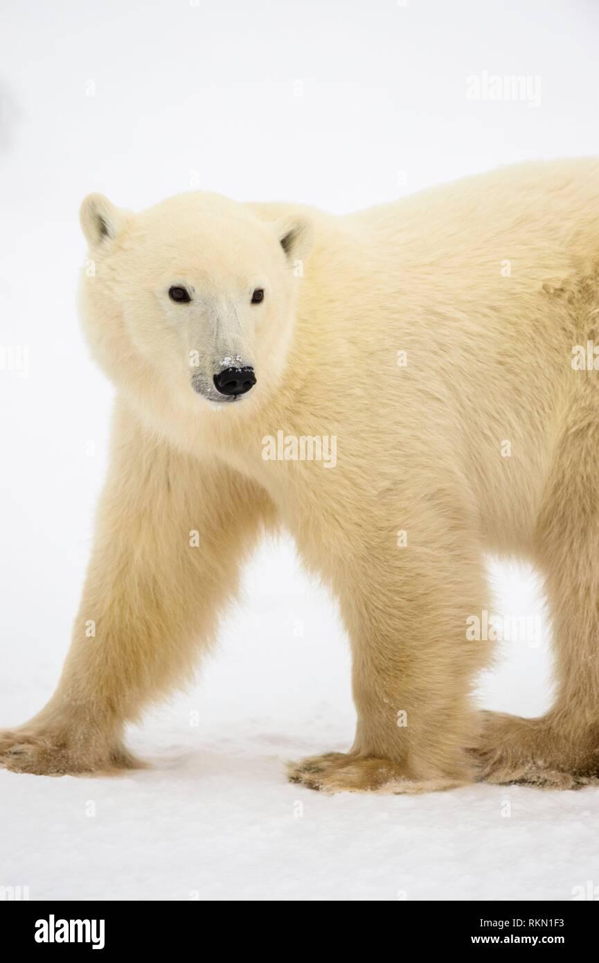 Polar Bear (Ursus maritimus) Yearling cub with mother close by, Wapusk NP, Cape Churchill, Manitoba, Canada. Stock Photo