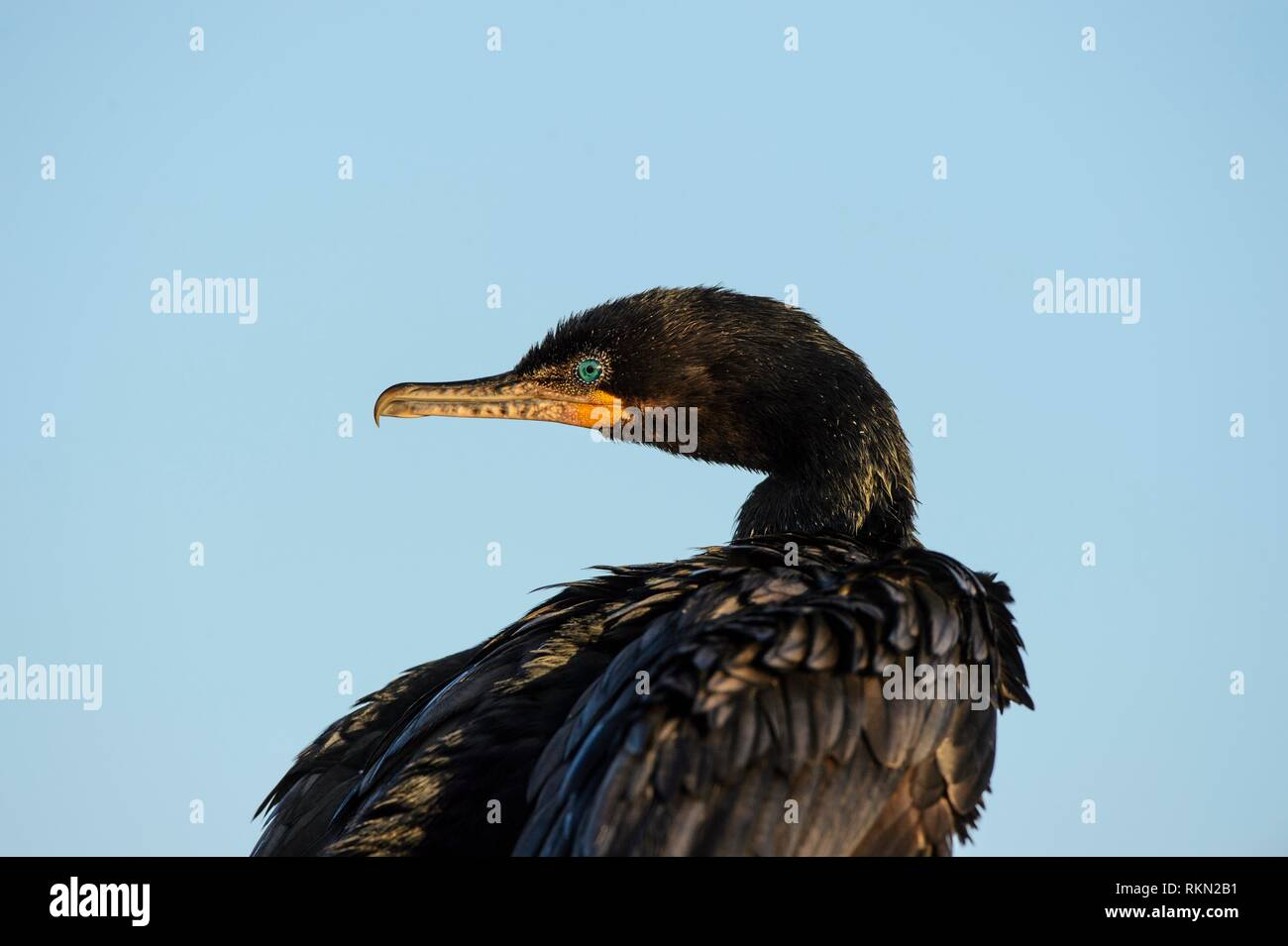 Neotropic/olivaceous cormorant (Phalacrocorax brasilianus), Anahuac NWR, Texas, USA. - Stock Image