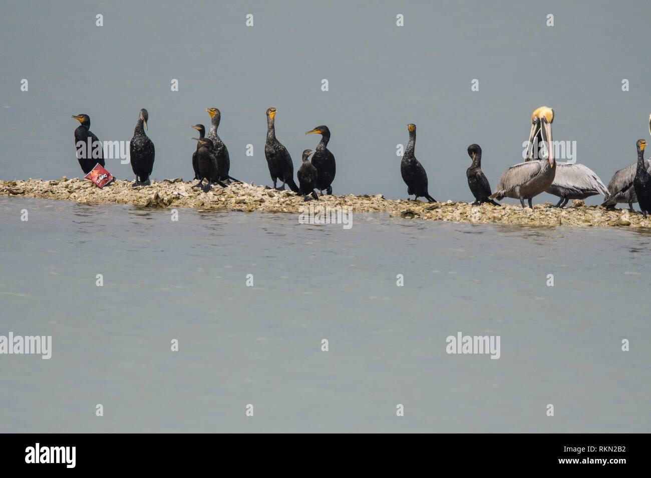 Neotropic/olivaceous cormorant (Phalacrocorax brasilianus), Aransas NWR, Texas, USA. - Stock Image