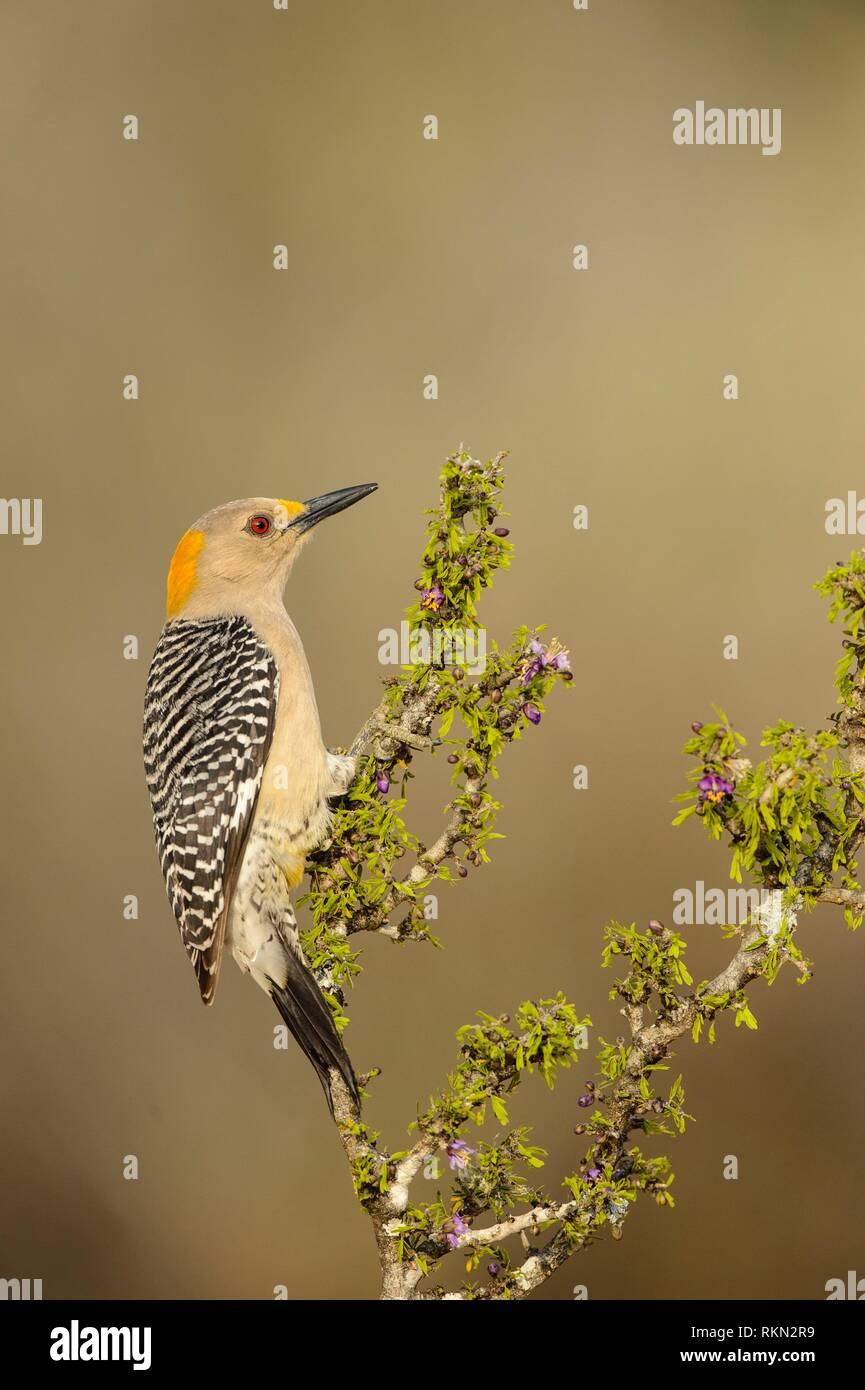Golden-fronted woodpecker (Melanerpes aurifrons), Santa Clara Ranch, Starr County, Texas, USA. Stock Photo