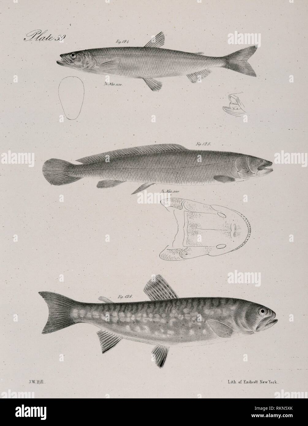 124. The American Smelt (Osmerus viridescens). 125. The Western Mud-fish (Amia occidentalis). 126. The Red-bellied Trout ( Salmo erythrogaster). De - Stock Image