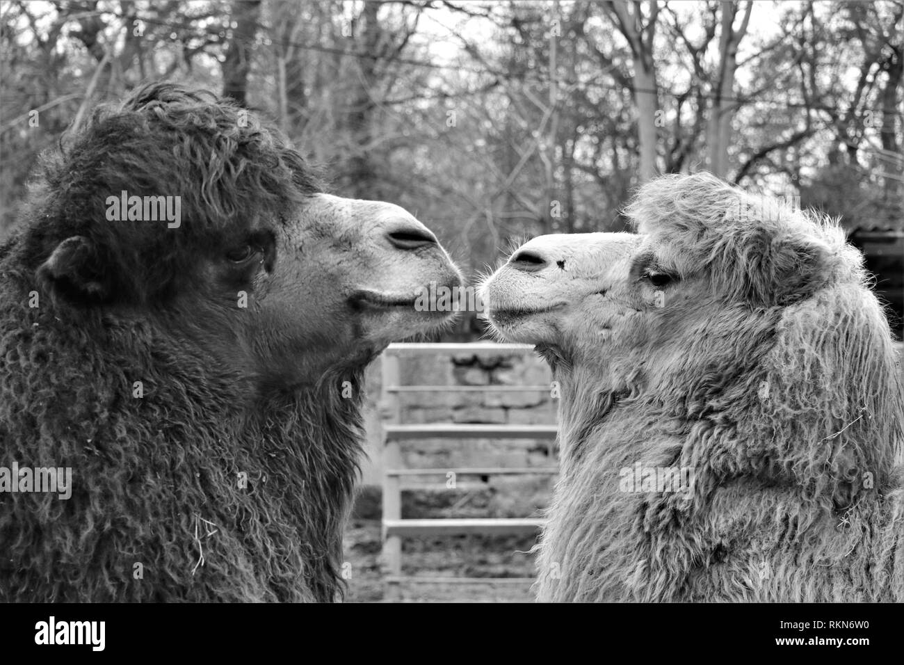 Couple of dromedary in love. Looking each other in their eyes. - Stock Image