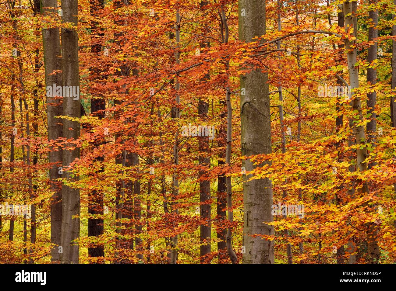 Forest in autumn colours. Bavaria, Germany. Stock Photo