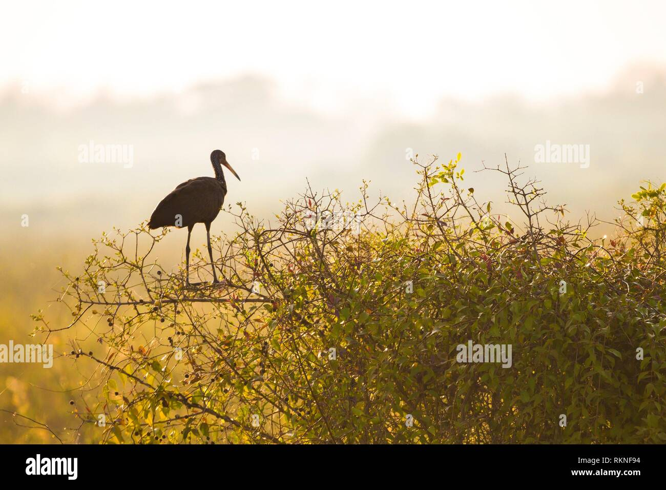 Limpkin, Aramus guarauna, Mato Grosso, Pantanal, Brazil. Stock Photo