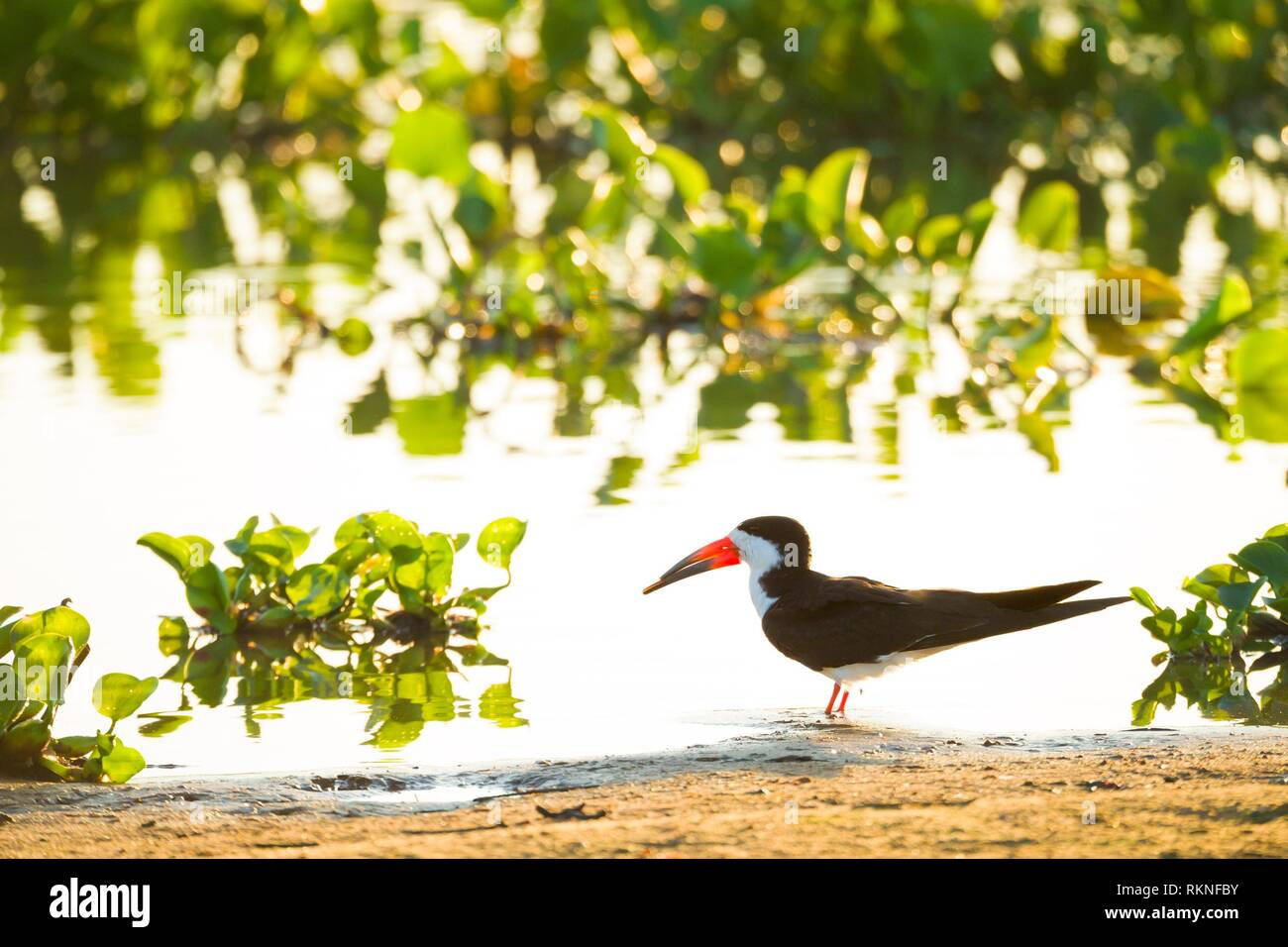 Black Skimmer (Rynchops niger), Brazil, Mato Grosso, Pantanal. Stock Photo