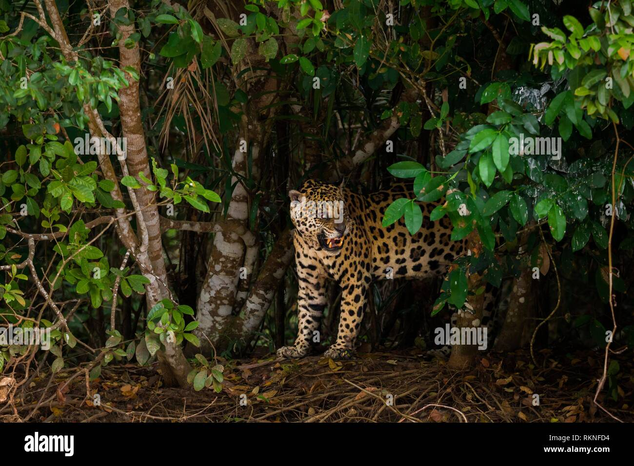 Snarling male Jaguar (Panthera onca), blind in one eye, Pantanal, Mato Grosso, Brazil. - Stock Image