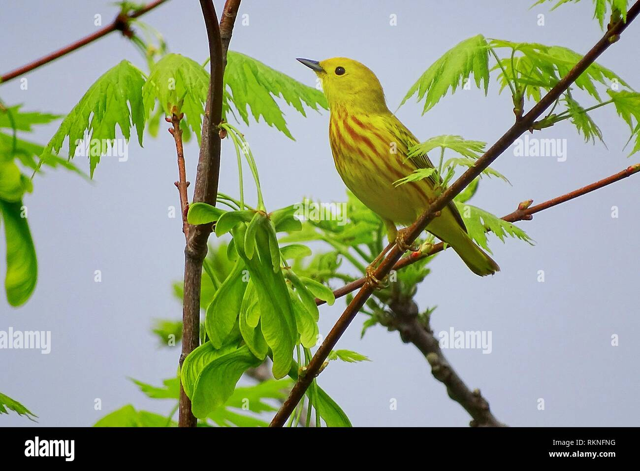 A yellow warbler, Setophaga petechia, pauses for a rest, Pennsylvania, USA. - Stock Image