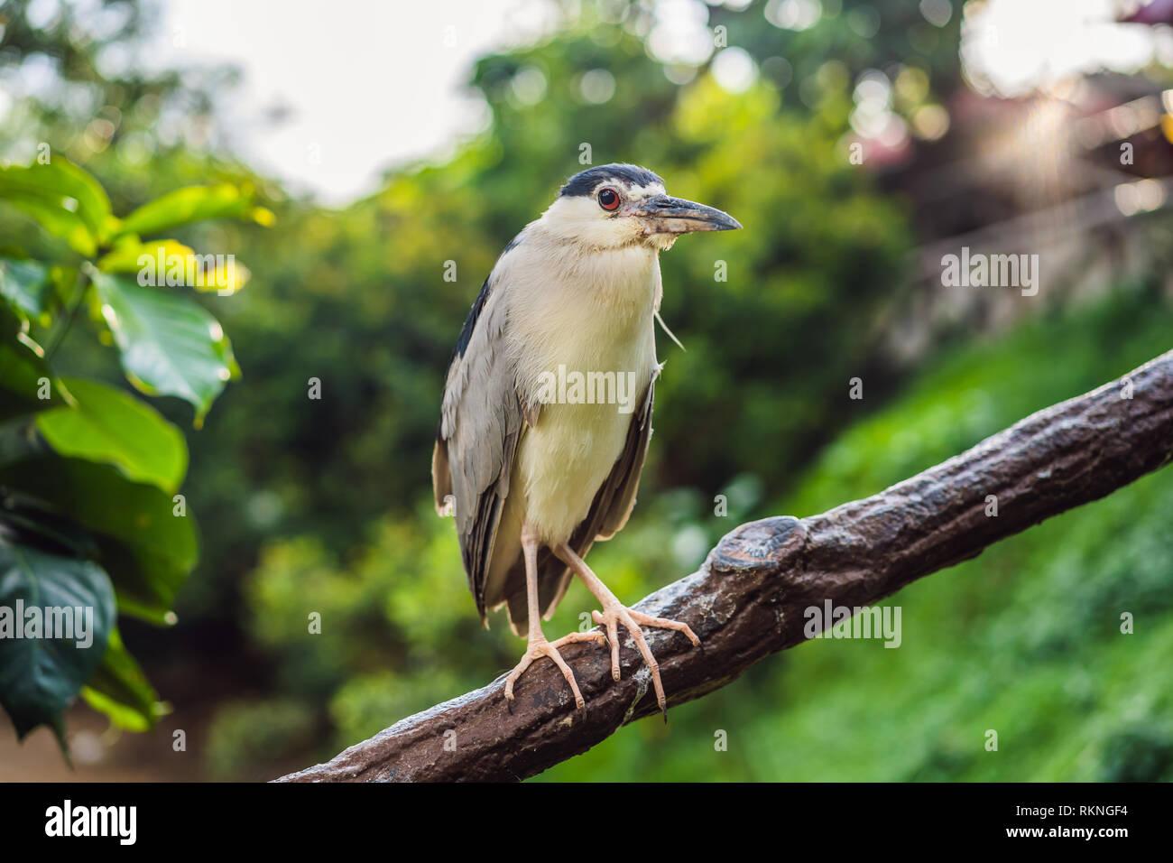 Black crowned night heron croak Malaysia, Kuala Lumpur - Stock Image