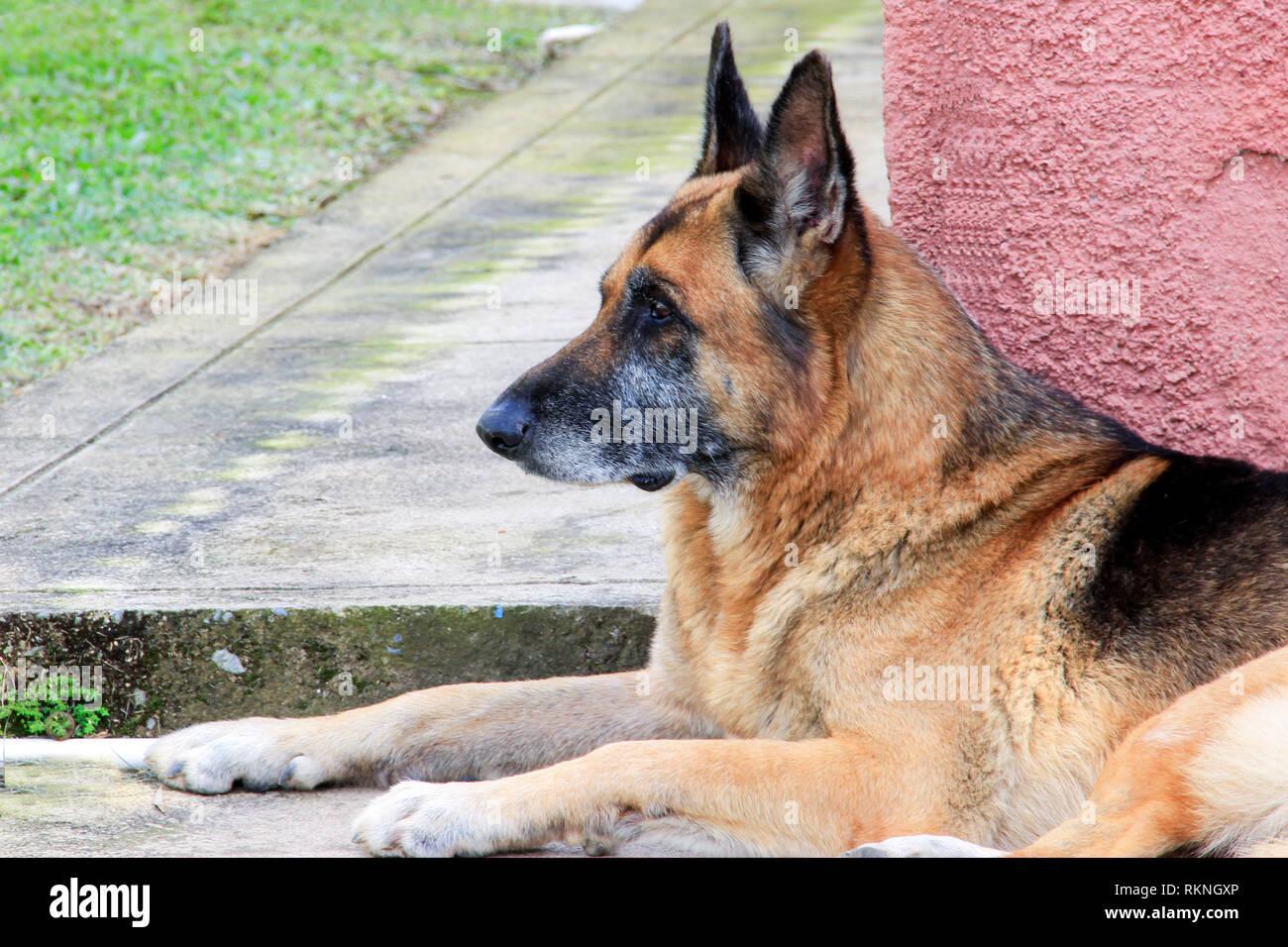 Pastor Alemán, perro guardián y compañero fiel, es ideal para un ambiente familiar, su gran inteligencia le permite realizar diferentes tareas Stock Photo
