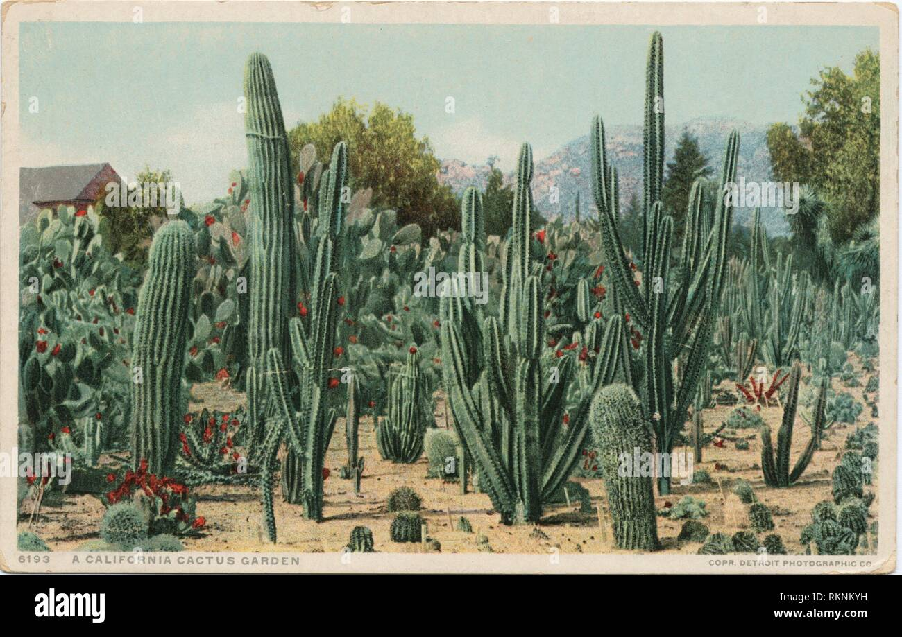 Cactus Garden, Riverside, Calif. Detroit Publishing Company postcards 6000 Series. Date Issued: 1898 - 1931 Place: Detroit Publisher: Detroit - Stock Image
