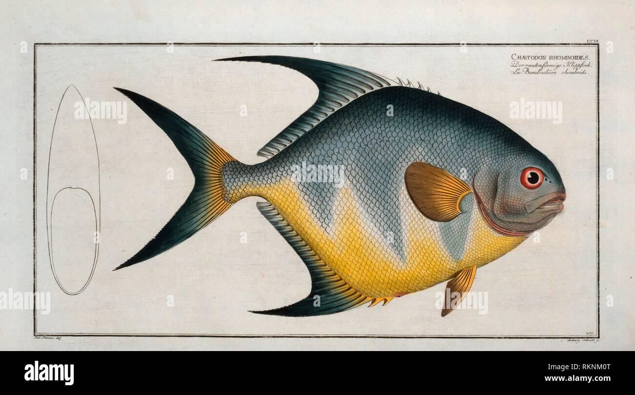 Chaetodon rhomboides. Bloch, Marcus Elieser, 1723-1799 (Author) Laveaux, J.-Charles (Jean-Charles), 1749-1827 (Translator). Ichtylogie, ou Histoire Stock Photo