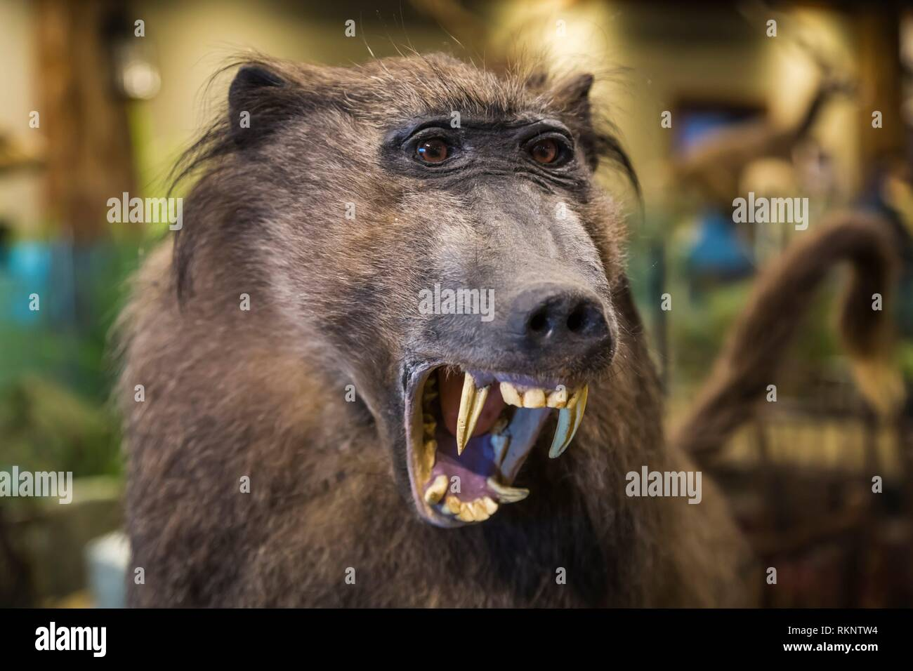 The taxidermy exhibit at the restaurant at The Ark Encounter, Williamstown, Kentucky, USA. - Stock Image