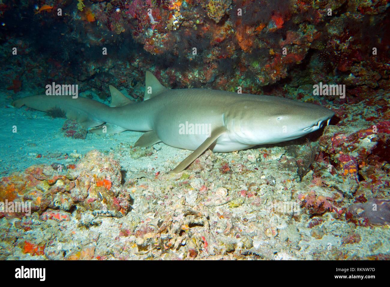 Tiger Shark, Indian Ocean, Maledives, South Asia. - Stock Image