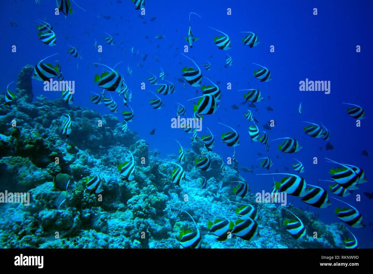 Schooling Banner fish (Heniochus diphreutes), Indian Ocean, Maledives, South Asia. - Stock Image