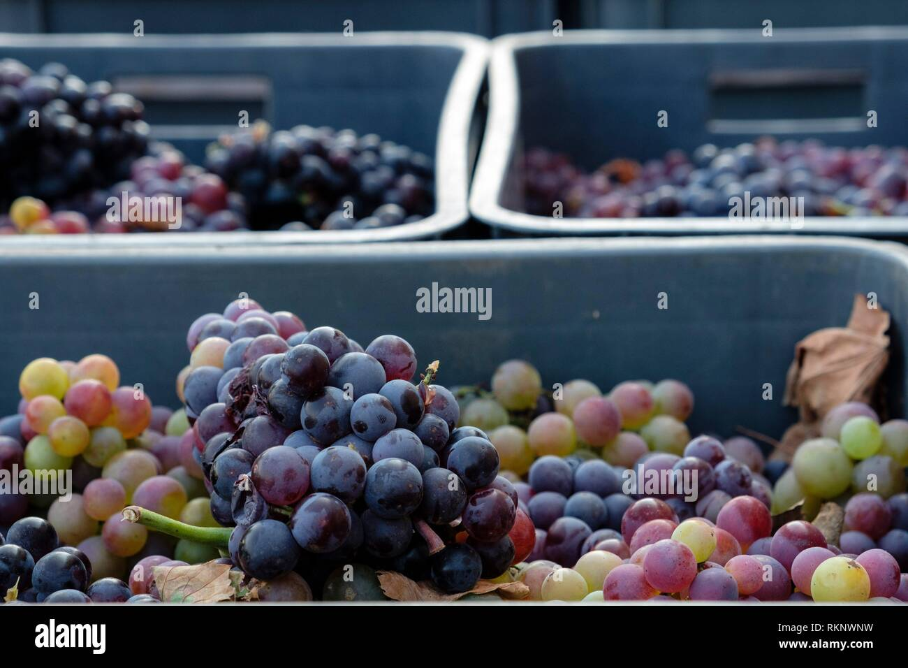 Callet grapes, Celler Mesquida-Mora, Porreres, Mallorca, Balearic islands, Spain. - Stock Image