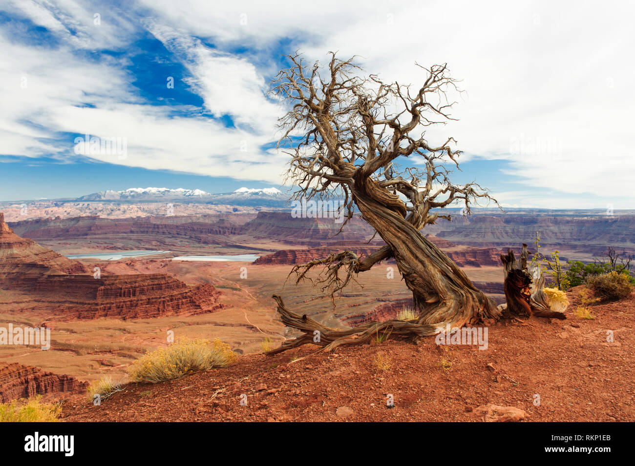 Dead juniper tree at Dead Horse Point State Park, Utah, USA. La Sal mountains in the background. - Stock Image