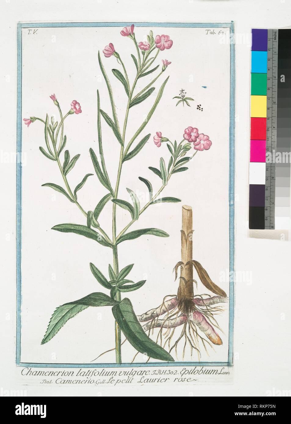 Chamenerion latifolium vulgare = Epilobium = Camenerio = Le petit Laurier rose. [Willow-weed]. Bonelli, Giorgio (b. 1724) (Author) Martelli, Niccoló Stock Photo