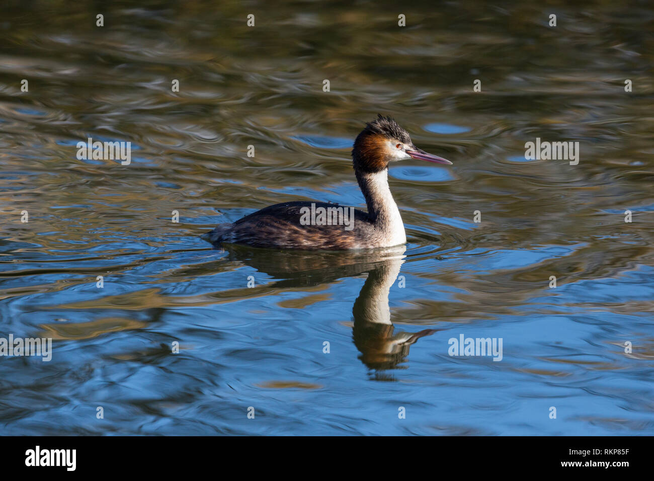 side view swimming great crested grebe (podiceps cristatus), water, reflections - Stock Image