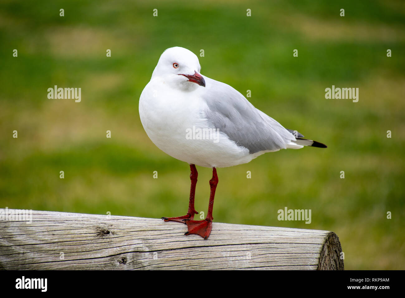 Australian Laridae order Lari seagull standing on a post Stock Photo