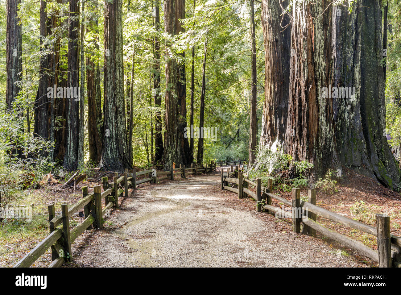 Old Coast Redwoods along the trail. - Stock Image
