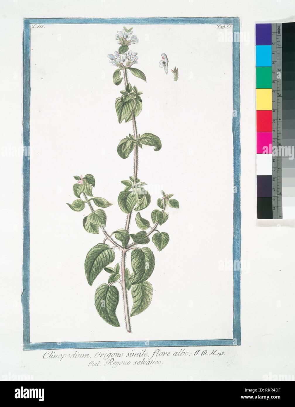Clinopodium, Origono simile, flore albo = Regono salvatico. [Wild mint]. Bonelli, Giorgio (b. 1724) (Author) Martelli, Niccoló (1735-1829) (Editor). - Stock Image