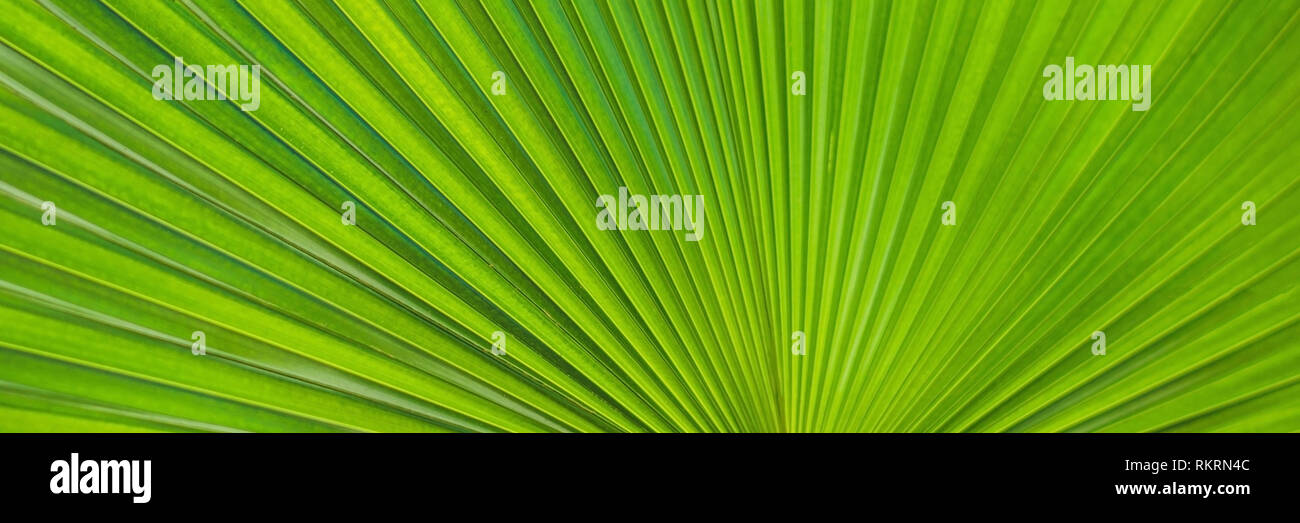 Green Footstool Palm Leaf through which the sun shines through BANNER, long format - Stock Image