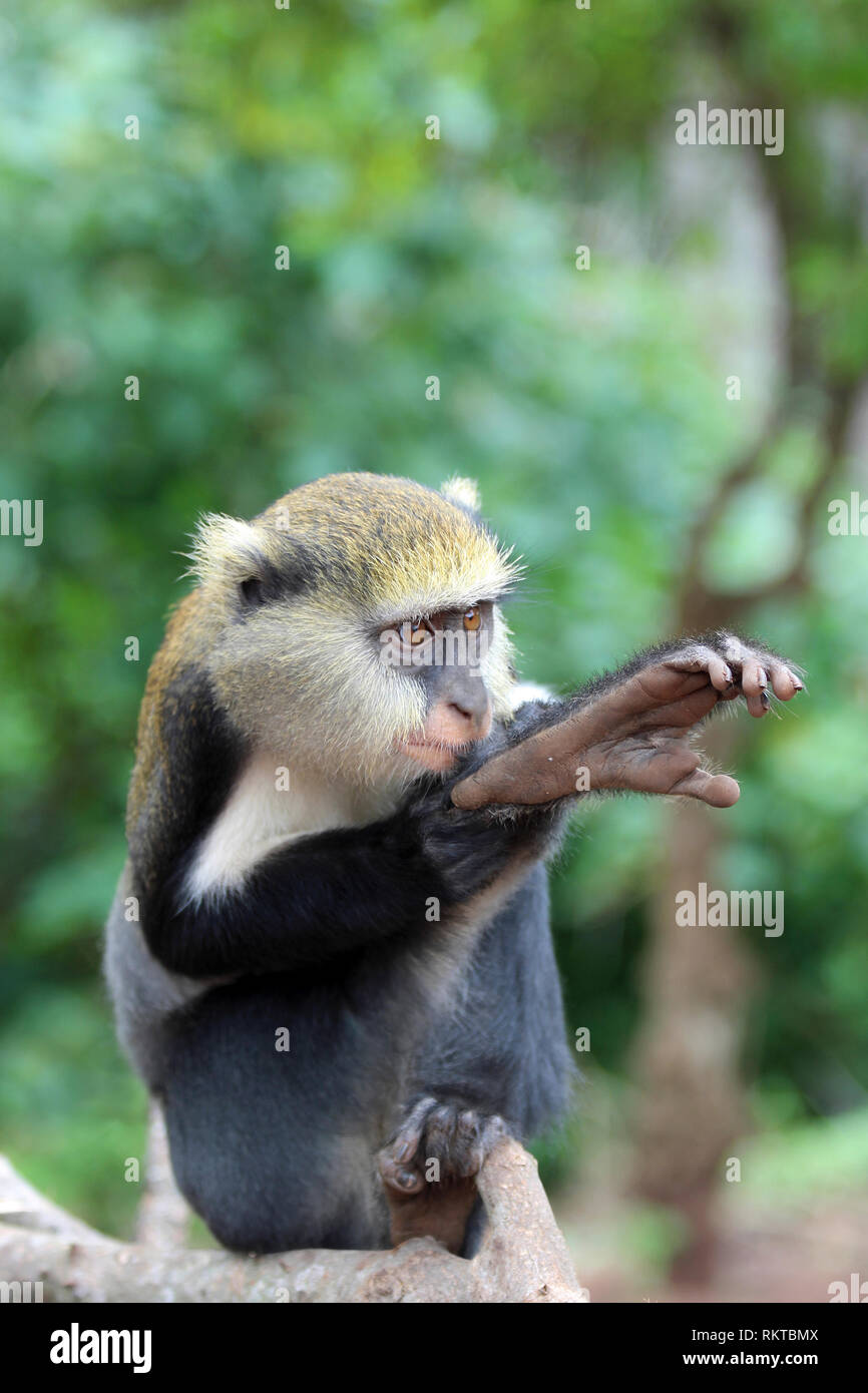 Campbell's Mona Monkey Cercopithecus campbelli - Stock Image