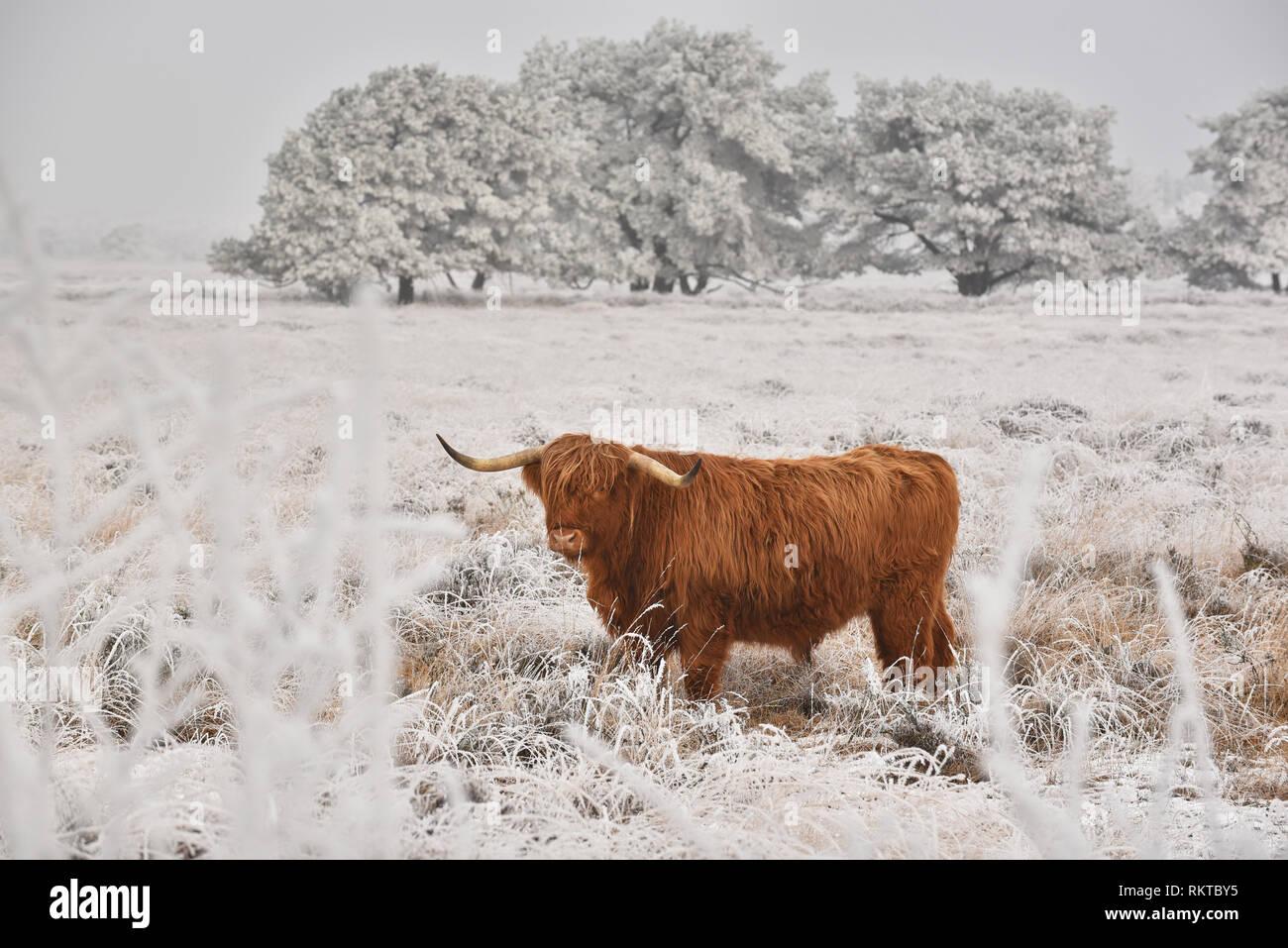 Scottish highlander in a natural winter landscape. - Stock Image