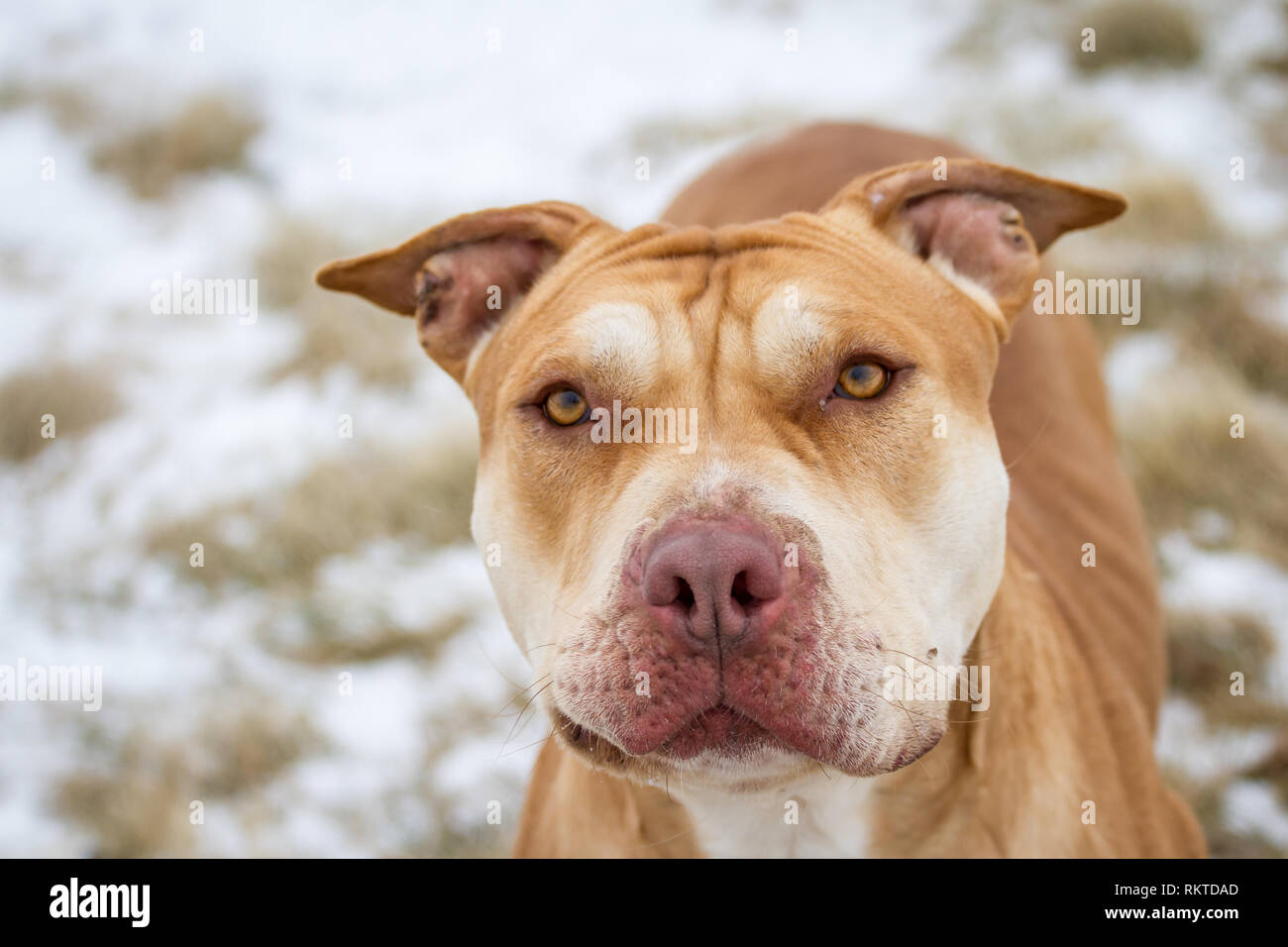 American Bully Stock Photos American Bully Stock Images Alamy