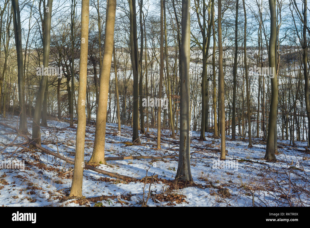 A snow covered beech wood above the village of Turville in the Chilterns in Winter. - Stock Image