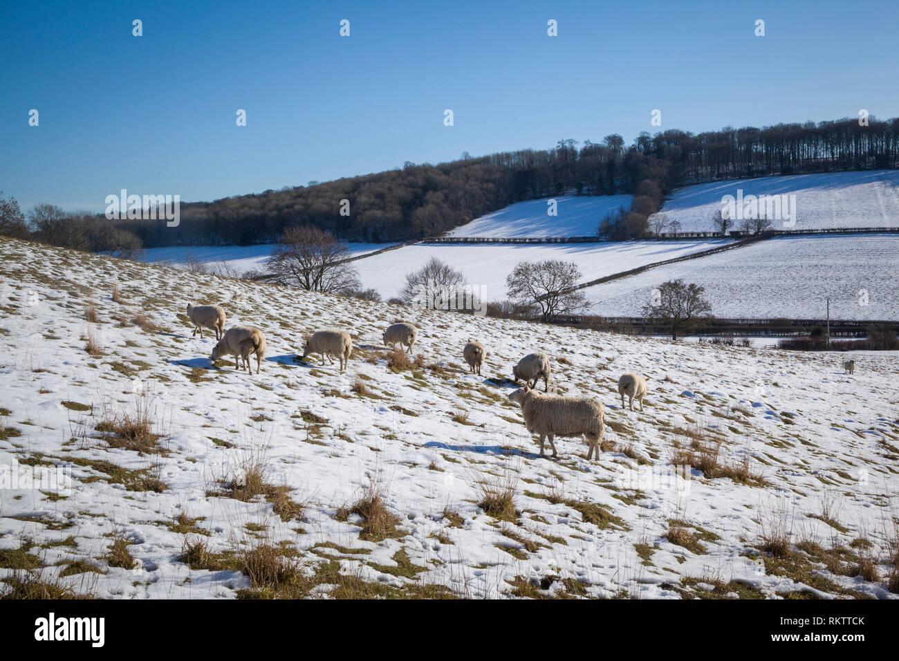 Shhep graze in snow covered fields near the Chiltern village of Fingest, Buckinghamshire. Stock Photo