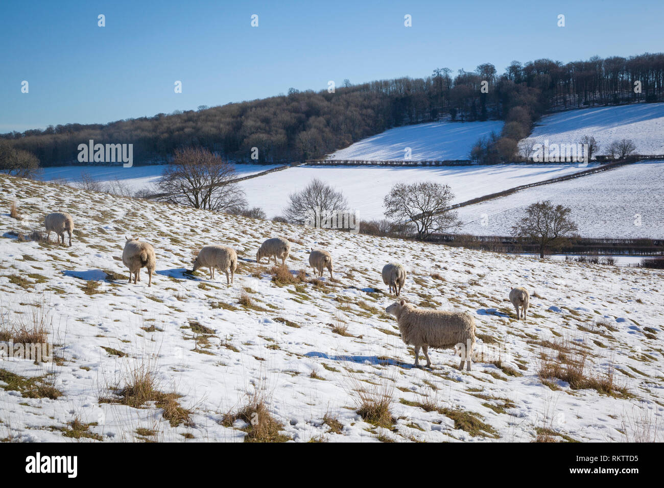 Shhep graze in snow covered fields near the Chiltern village of Fingest, Buckinghamshire. Stock Photo