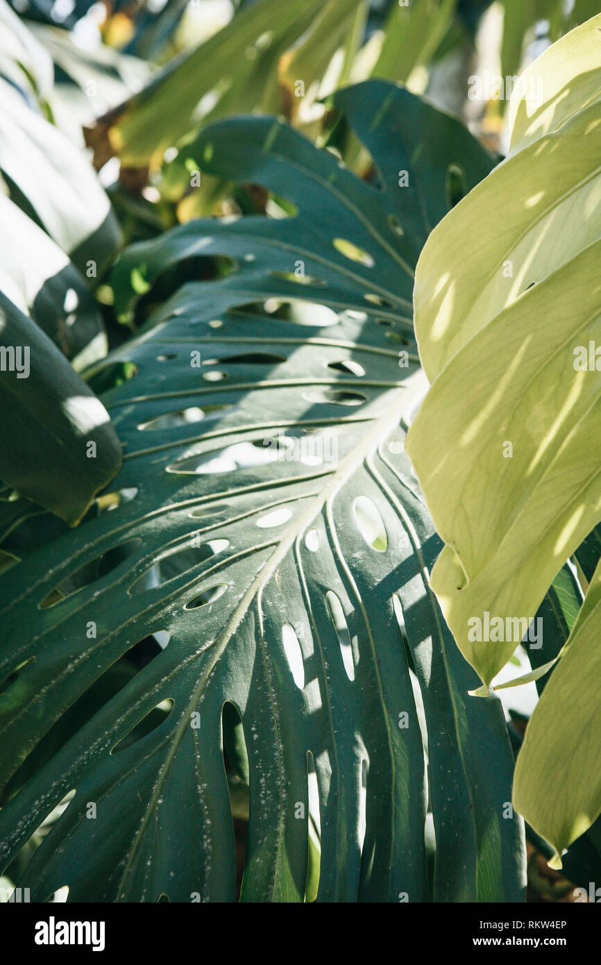 Monstera leaves on a sunny day in a natural environment. - Stock Image