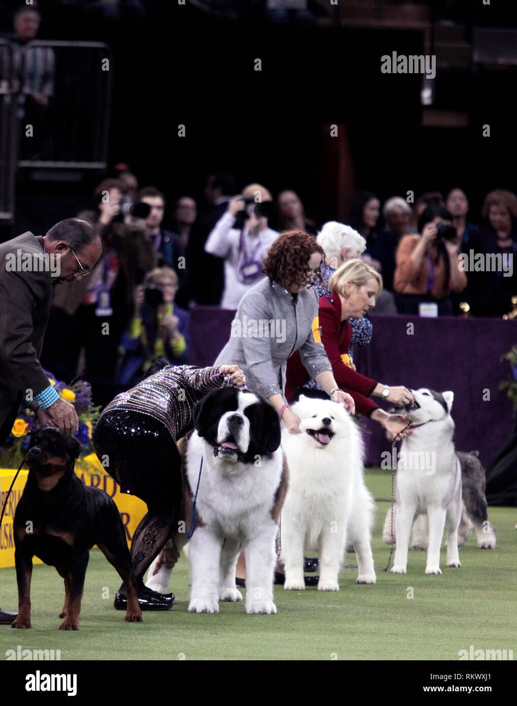 New York, USA. 12th Feb 2019. Westminster Dog Show - New York City, 12 February, 2019:  Working Group dogs awaiting final judging at the 143rd Annual Westminster Dog Show, Tuesday evening at Madison Square Garden in New York City. Credit: Adam Stoltman/Alamy Live News Stock Photo