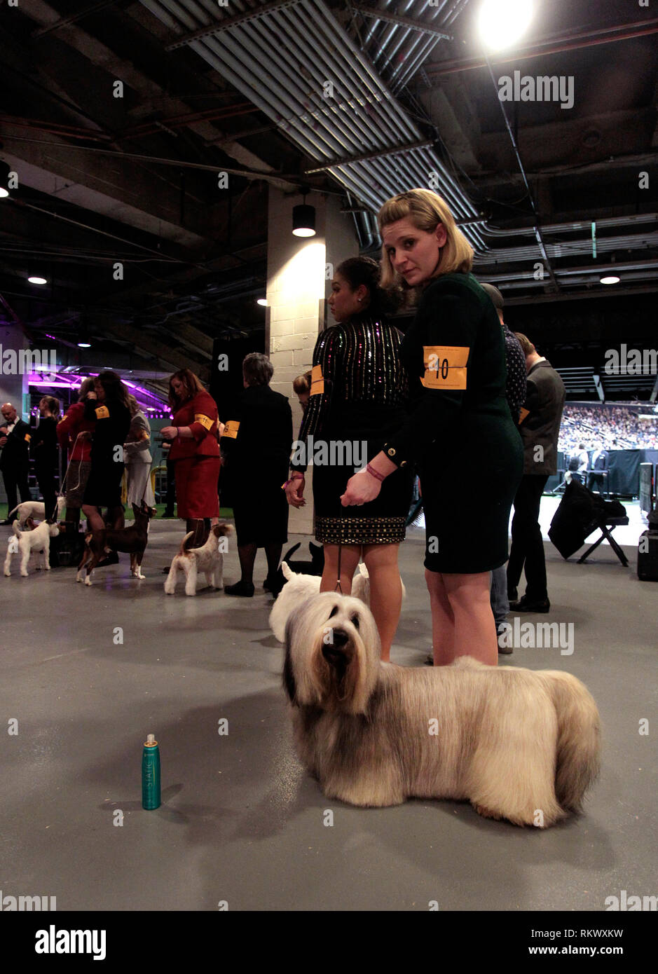 New York, USA. 12th Feb 2019. Westminster Dog Show - New York City, 12 February, 2019:  Terrier Group dogs awaiting their group to be called to the ring at the 143rd Annual Westminster Dog Show, Tuesday evening at Madison Square Garden in New York City. Credit: Adam Stoltman/Alamy Live News Stock Photo